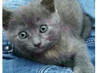 Dark grey kitten shes reserved