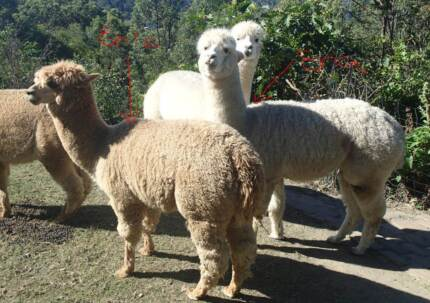 Gorgeous Mother/Son Alpacas looking for a good home.... Bonogin Gold Coast South Preview