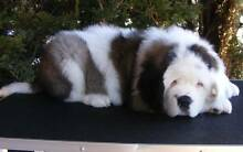 Well trained stunning Cute Saint Bernard Puppies Available Parklands Burnie Area Preview