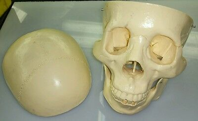 Human Skull Anatomy Skeleton Medical Model Bones Halloween Life Size Ships Free