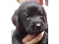 1 Perfect KC Reg Black Lab puppy from litter of 7