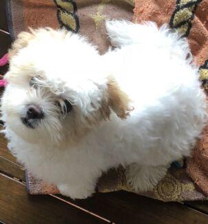 Maltese X Shih Tzu Puppies Dogs Puppies Gumtree Australia