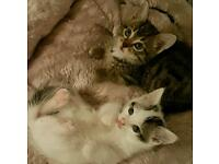 2 Lovely male kittens - 1white - 1 tabby