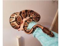 Pet Royal Ball Python for sale
