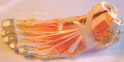 Life-size Foot Bone Blood Vessel Nerve Muscle Medical Anatomical Model Anatomy