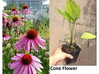 Perennial Plant cone Flower in pot for the garden 1.50 each
