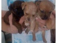 Westie cross puppies