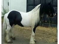 5yrs Old Cob Stallion