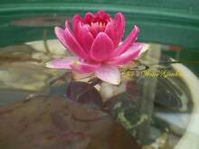 Small Pond Pack. Water lily, Umbrella Sedge, Mare's Tail, Dwarf P Dandenong Greater Dandenong Preview