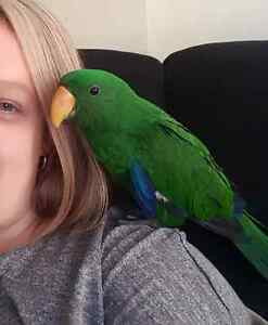 eclectus parrot Whyalla Whyalla Area Preview