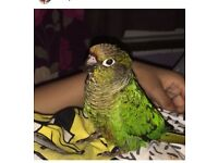 Looking For someone to look after my conure