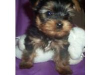 Beautiful Yorkshire terrier puppy boy 1 left £350