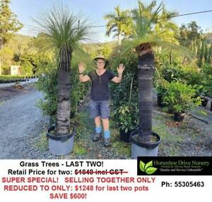 Grass Tree Black Boy Feature Tree - ONLY TWO LEFT - SUPER SPECIAL!
