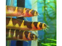 KUHLI LOACH TROPICAL FISH