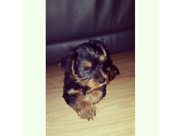 Yorkshire Terrier Puppy £250
