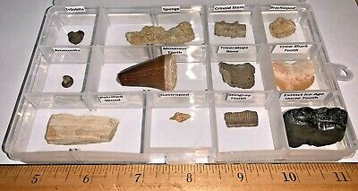 Labeled 12 Fossil Lot Fossil Collection TRICERATOPS BONE, HORSE TOOTH, TRILOBITE