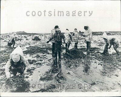 1978 Volunteers Help Clean Up Beach Oil Spill Brittany Amoco Cadiz Press Photo