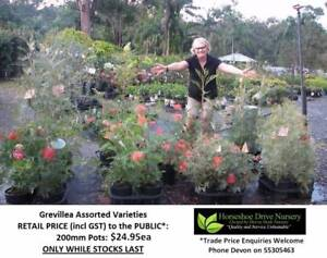 Ass Grevillea 200mm Pot Attracts Birds Dark Green Leaves HS043 Mudgeeraba Gold Coast South Preview