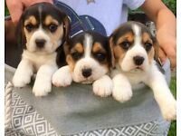 Stunning litter of KC Registered Beagle Puppies *Only 2 available*