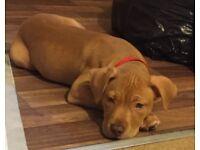 10 week old puppy half staff and half mastiff