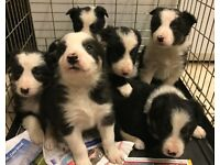 Border Collie Puppies, Wormed, Chipped