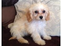 Cavachon puppy little boy last one