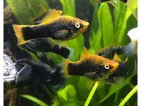 Tropical Livebearer Swordtail (Xiphos Helleri) Fish £1 / £2 / £3 / £4
