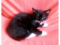 Kitten For Sale Black Male Cat With White Paws Neck Mouth For Adoption Derby City Centre