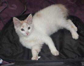 White/ginger cat lost or stolen