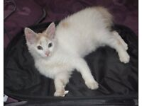 White/ginger cat lost or stolen