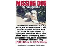 Missing Old English Sheepdog. Henleaze, Bristol