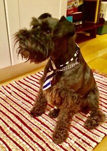 Lost Dog: Miniature Schnauzer in Old Strathcona.