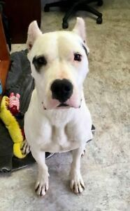 "Young Female Dog - Dogo Argentino: ""Rhea"""