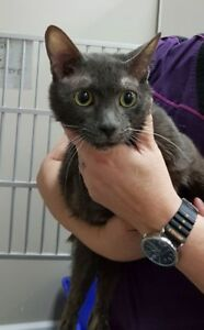 """Young Male Cat - Domestic Short Hair: """"Grey Poupon"""""""