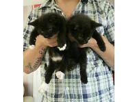 2 kittens 8 weeks old