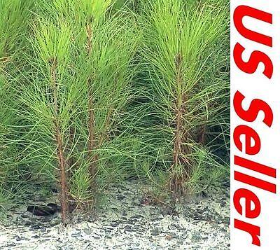 "3 Tree Seedlings 4""~7"" Tall Georgia Long Needle Pine Trees P2, Hardy Trees"