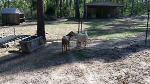 Damara Ram and Damara Cross Ewe Cedar Vale Logan Area Preview
