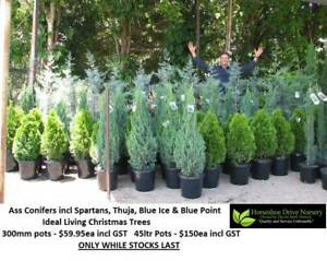 Living Christmas Trees Conifers Priced From $59.95 - $150 Tallai Gold Coast City Preview