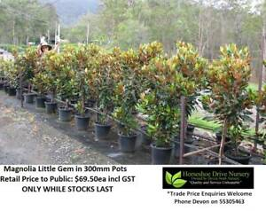 Magnolia Little Gem Quality Plants Feature Tree Mudgeeraba Gold Coast South Preview