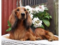 Beautiful STANDARD Dachshund Puppies for sale
