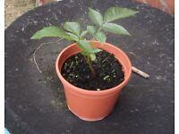 Walnut Tree Seedling