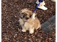 Llhaso Apso x Shih Tzu, male, 4 months old. Fully vaccinated