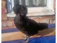 Polish Poland chicks chickens pullets