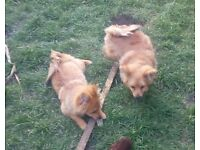 Pomeranian Puppies two Girls - Pure Breed 4Months old