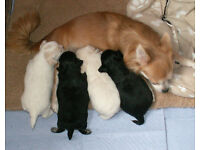 Pedigree L/H Chihuahua Puppies for Sale from £450
