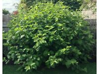 7 Year Old Large Full Hardy, Perennial Shrub Over 5 ft X 5 ft