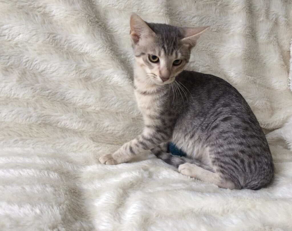 Adorable Silver Egyptian Mau Siamese Kittens For Sale In Ilford London Gumtree