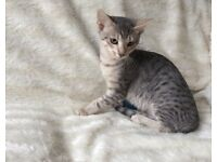 Adorable silver Egyptian Mau/Siamese kittens for sale