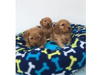Gorgeous F1b cockapoo Puppies for Sale!