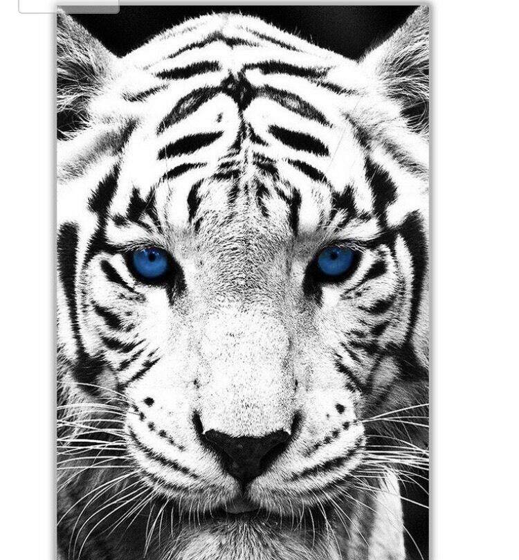 Portrait white tiger blue eyes canvas wall art | in ...